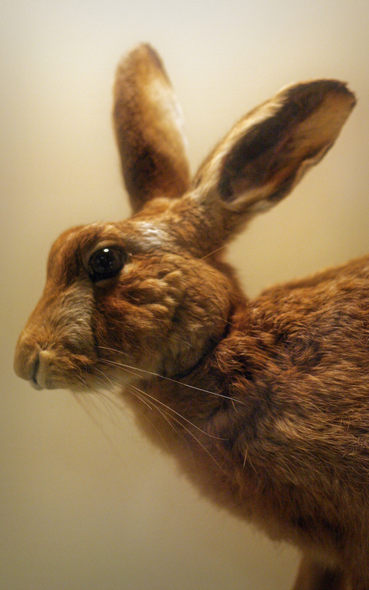Hare on Land