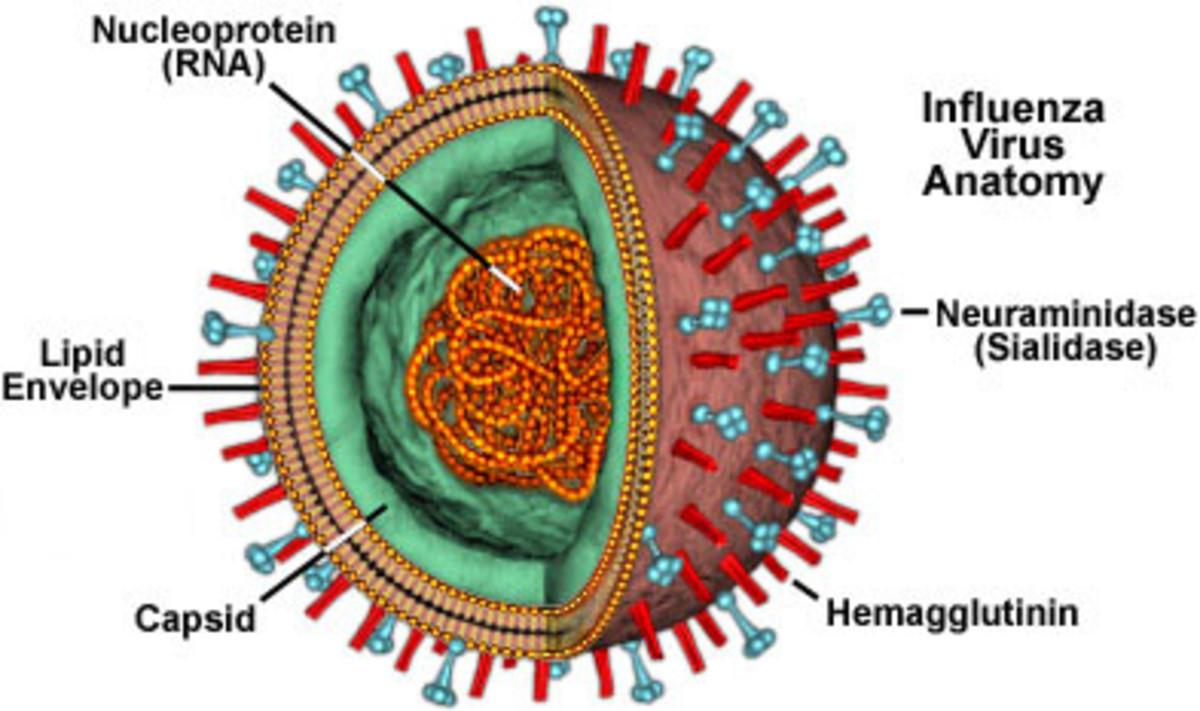 Influenza Virus Anatomy