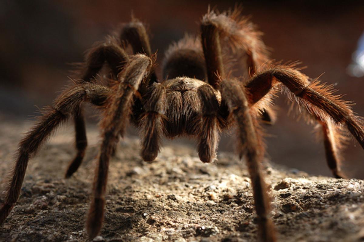 Venomous Spiders & Snakes