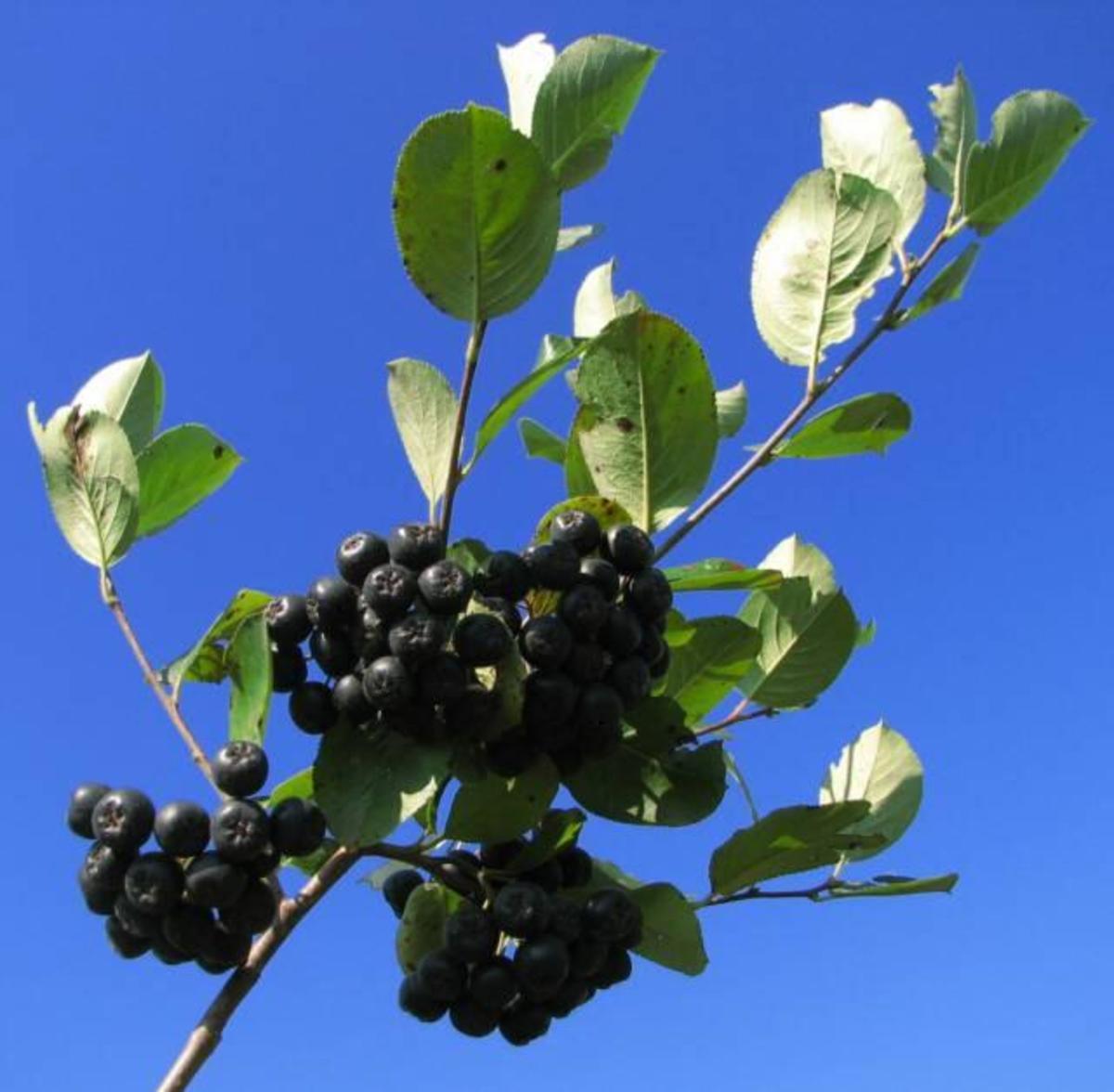 Superfruit: Health Benefits of Aronia Berry