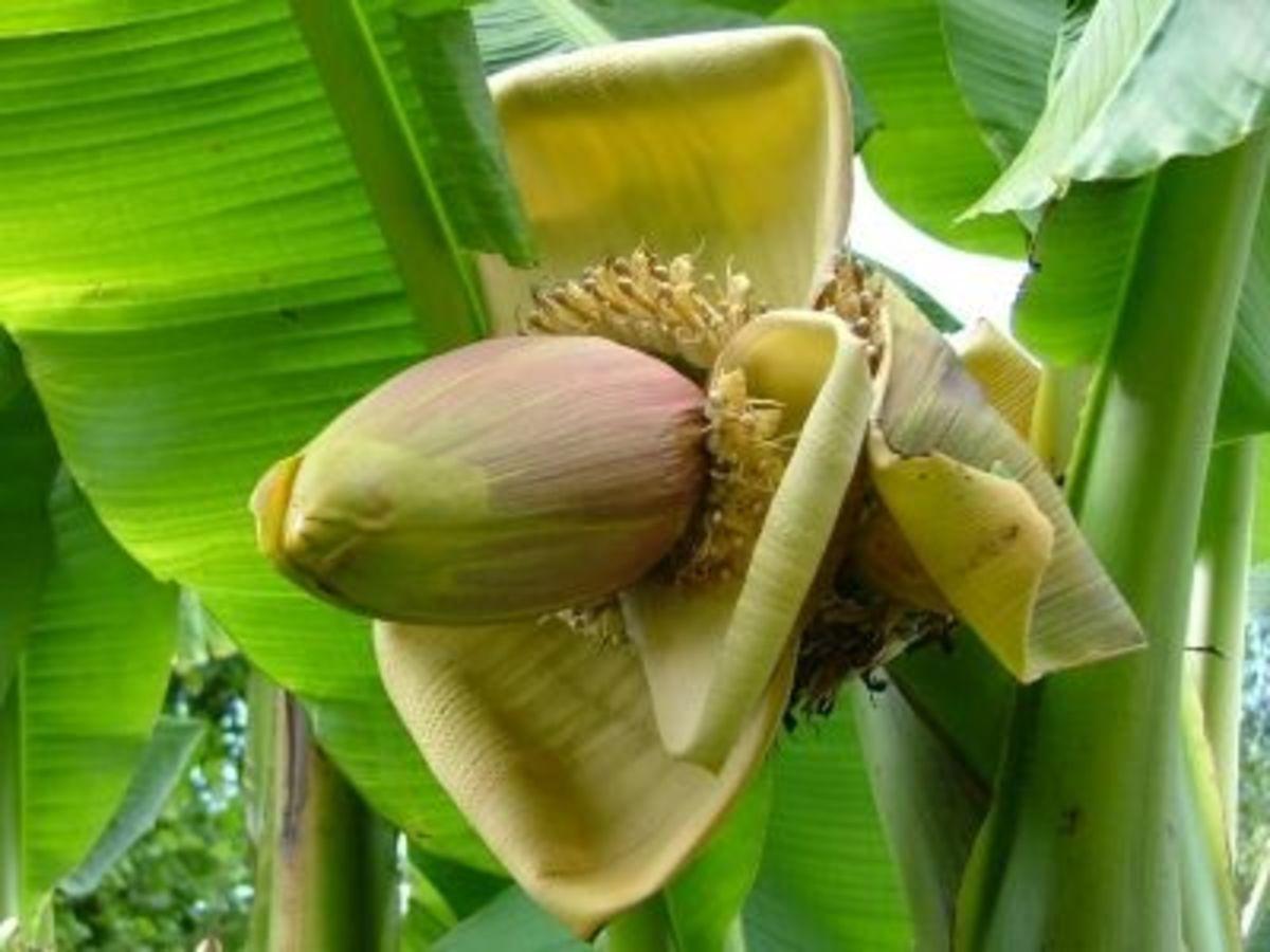 Musa Basjoo Banana Flower