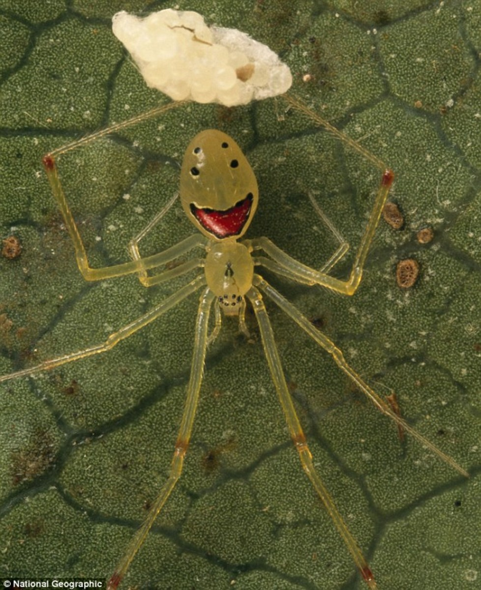 The Happy Face Spider is only found in Hawaii. In fact it is only found on