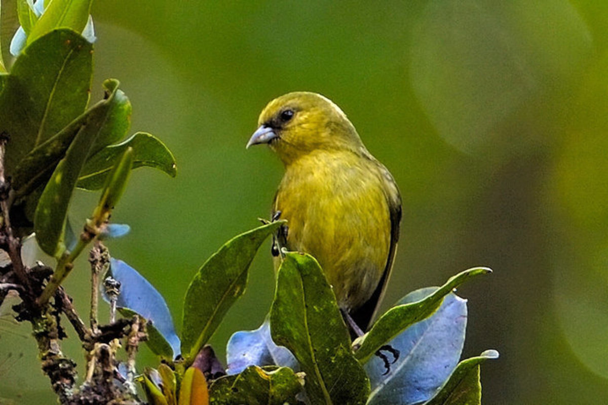 The 'Akeke'e bird is rare and found only on the only the island of Kaua'i in Hawaii. The Kaua'i Forest Bird Recovery Project was established to facilitate the recovery of this bird and two others in Hawaii, the Puaiohi,  and the Akikiki.