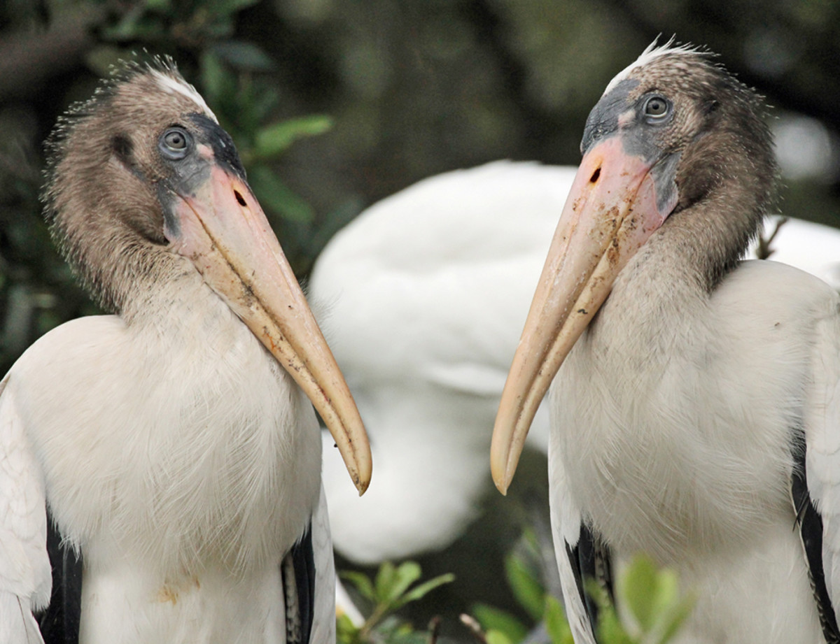 """Wood storks are beady-eyed, long-legged wading birds found primarily in Florida.  The National Audubon Society calls this bird """"the barometer of the Everglades."""""""
