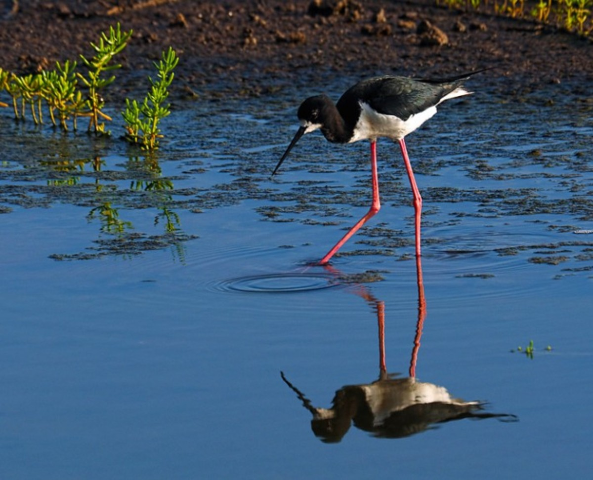 The endangered Hawaiian stilt, which has very long pink legs and a black beak.  This stilt is a very slender wading bird found only in Hawaii.