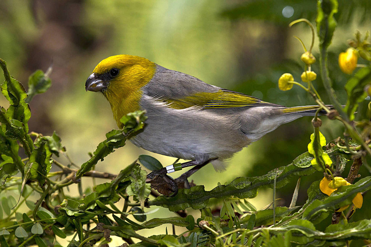 The critically endangered palila bird is a small songbird in the forests of Hawaii.  Today, they are found in a very small percentage of their historic range, primarily due to the loss of native dryland forest habitat.