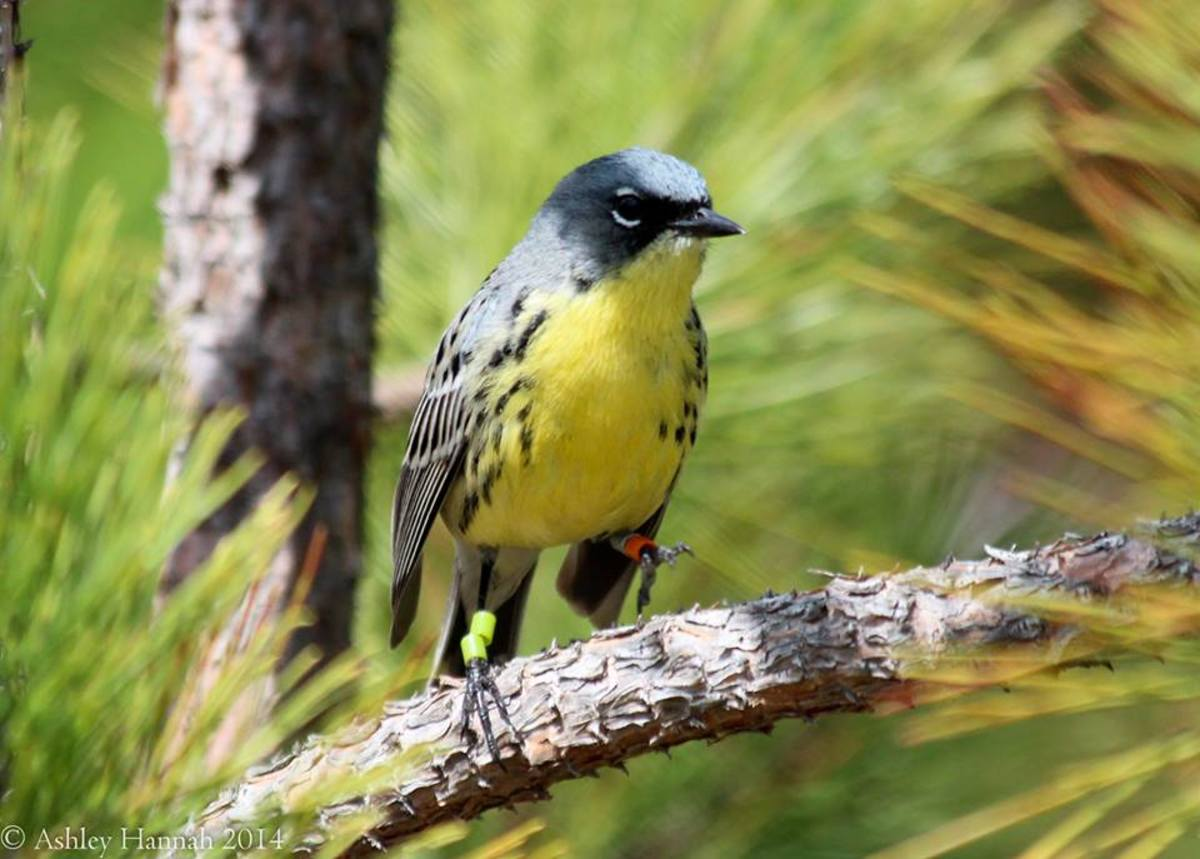 This is the endangered Kirtland's warbler, a songbird that nests in young jack pine stands.  They have been seen in several states, including  Florida, Michigan, South Carolina, and Wisconsin