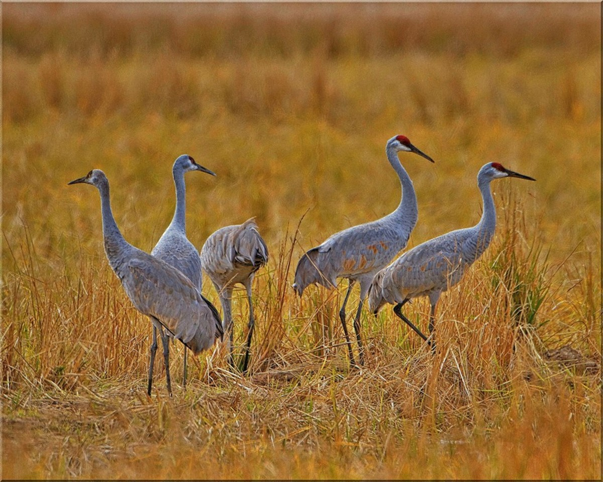 The Mississippi sandhill crane are listed as critically endangered and they are found in the wild only on, and adjacent to, the Mississippi Sandhill Crane National Wildlife Refuge in Gautier, Mississippi.