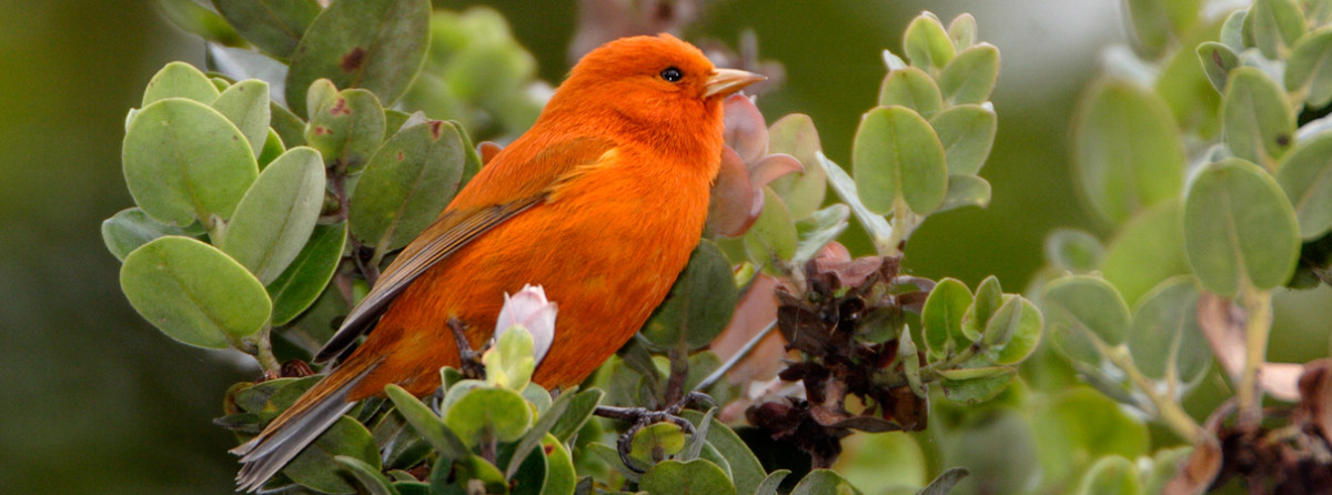 This is the endangered Hawaiian akepa bird.  It's habitat has been drastically reduced by a virulent disease that has destroyed several thousands of acres of the Ohi'a trees, upon which they depend for survival.