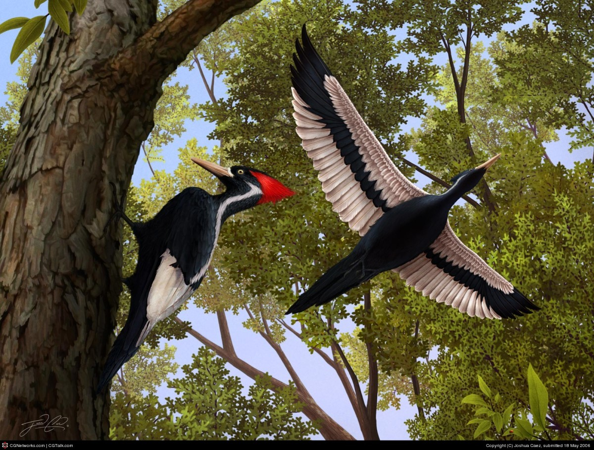 "Who wouldn't love to see an ivory-billed woodpecker in their yard, pecking away?  They are also called ""the Grail Bird,"" because to see one is considered ""The Holy Grail"" of birding."