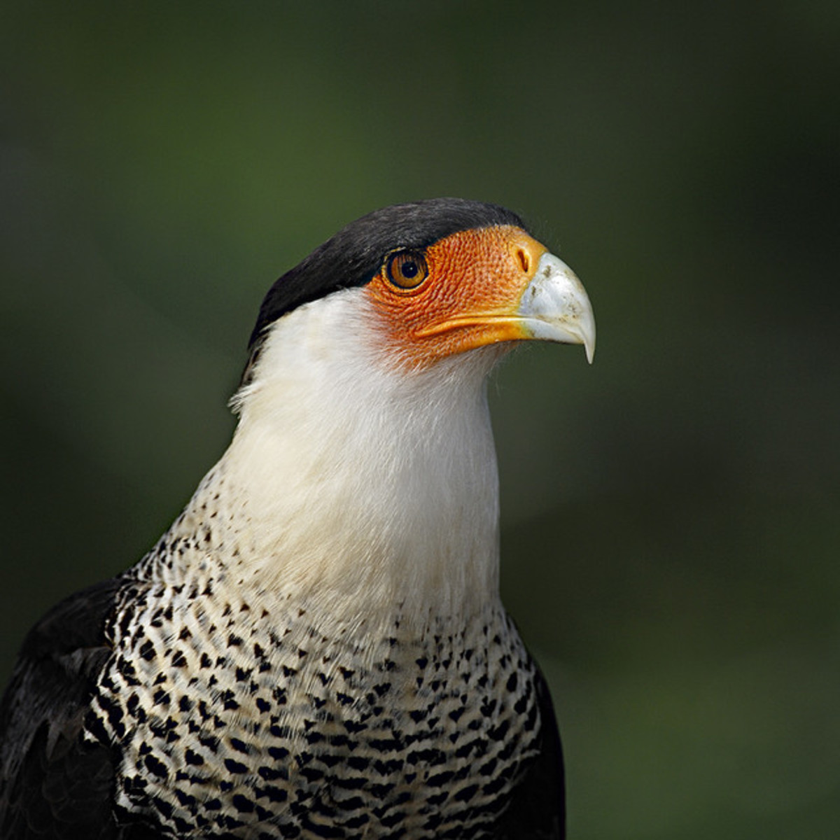 The crested caracara can be found in North America in Mexico and only on the southern parts of the United States, including Florida, where it is considered a threatened species.