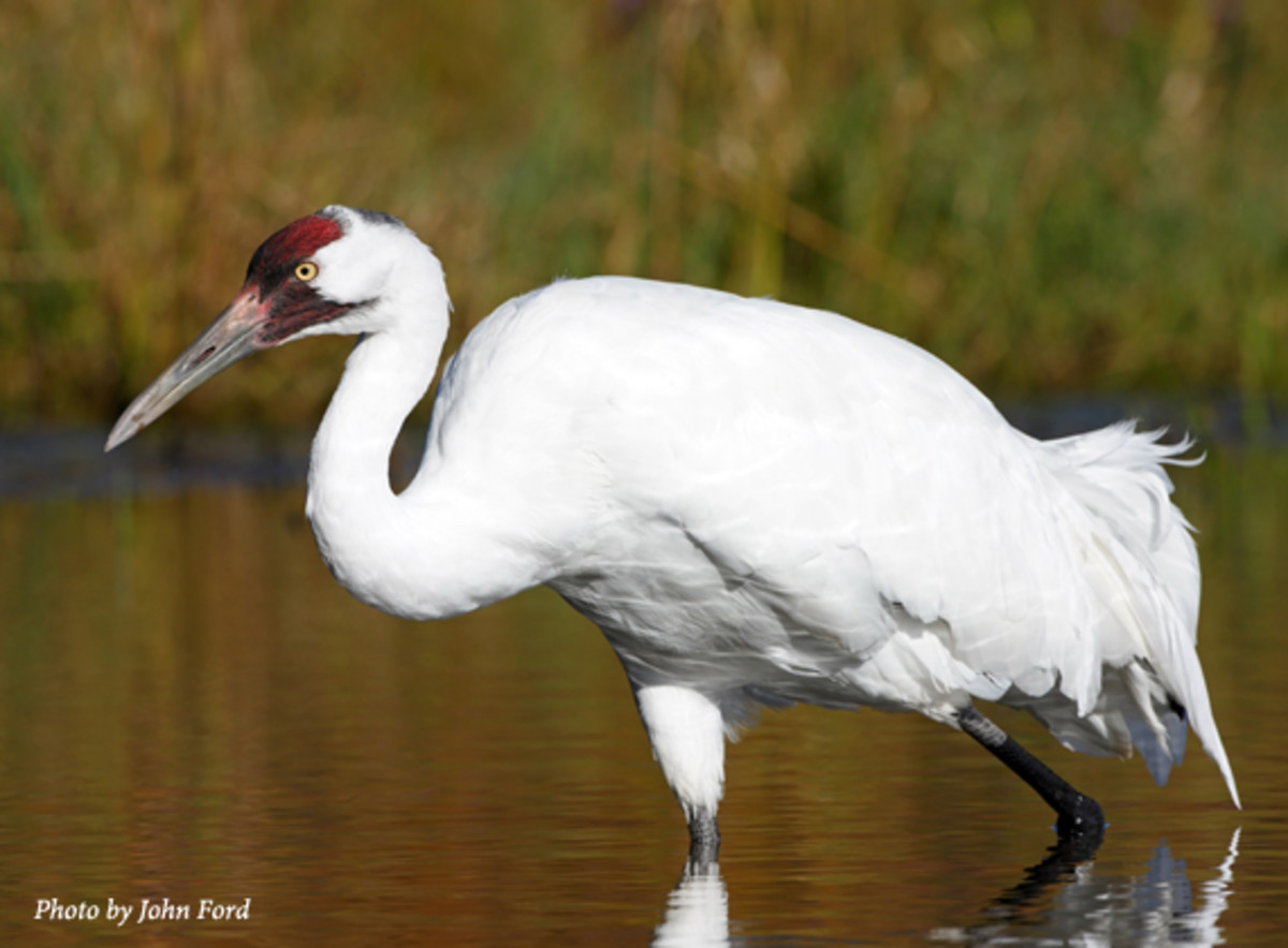 The whooping crane is the tallest North American bird and is so named because of the whooping sound it makes.  It remains endangered, but conservation efforts have increased the numbers over the past several years.
