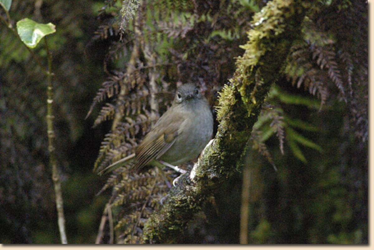 This is the small Kauai thrush bird, also knowns as Puaiohi.  It is is drastic decline on the island of Kauai in Hawaii where it is a native bird.