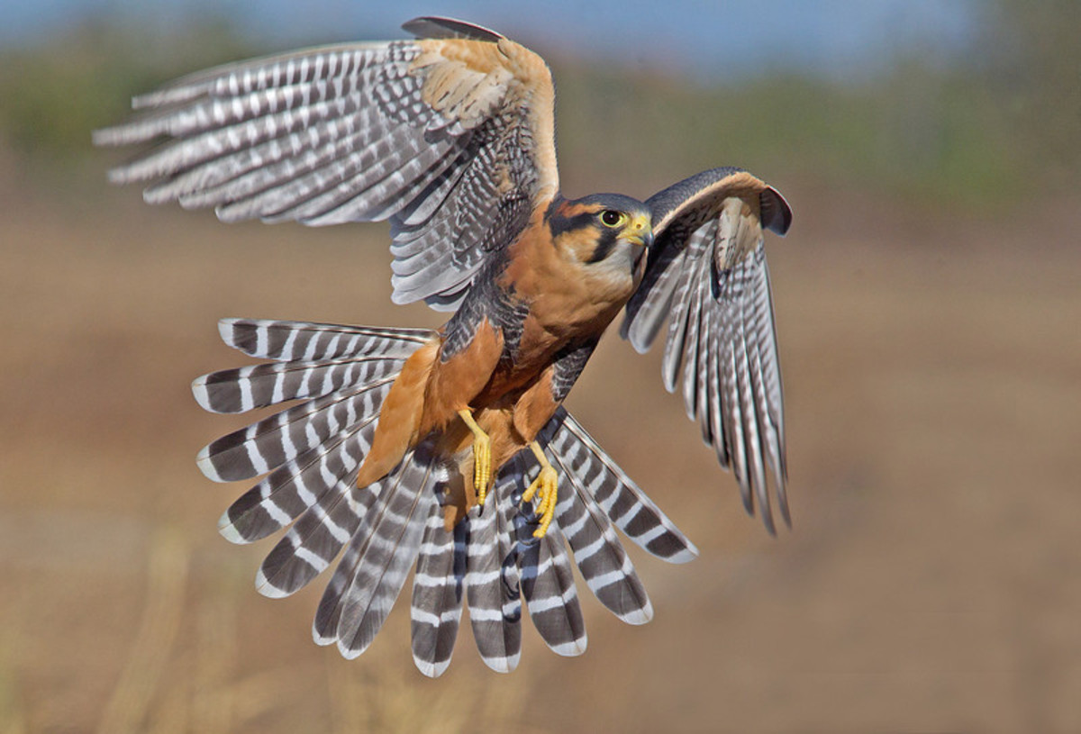 This handsome, endangered northern aplamado falcon is only found in the states of Texas, Arizona and New Mexico.