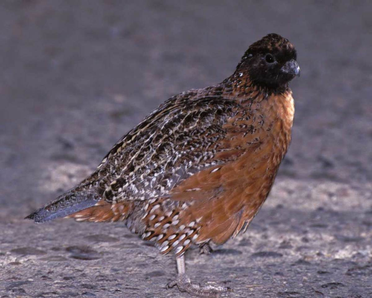 The masked bobwhite quail is on the endangered list and is found only in the Sonoran Desert and semi desert regions of southern Arizona, and northern Sonora in Mexico.  It is the only species of quail on the endangered list.