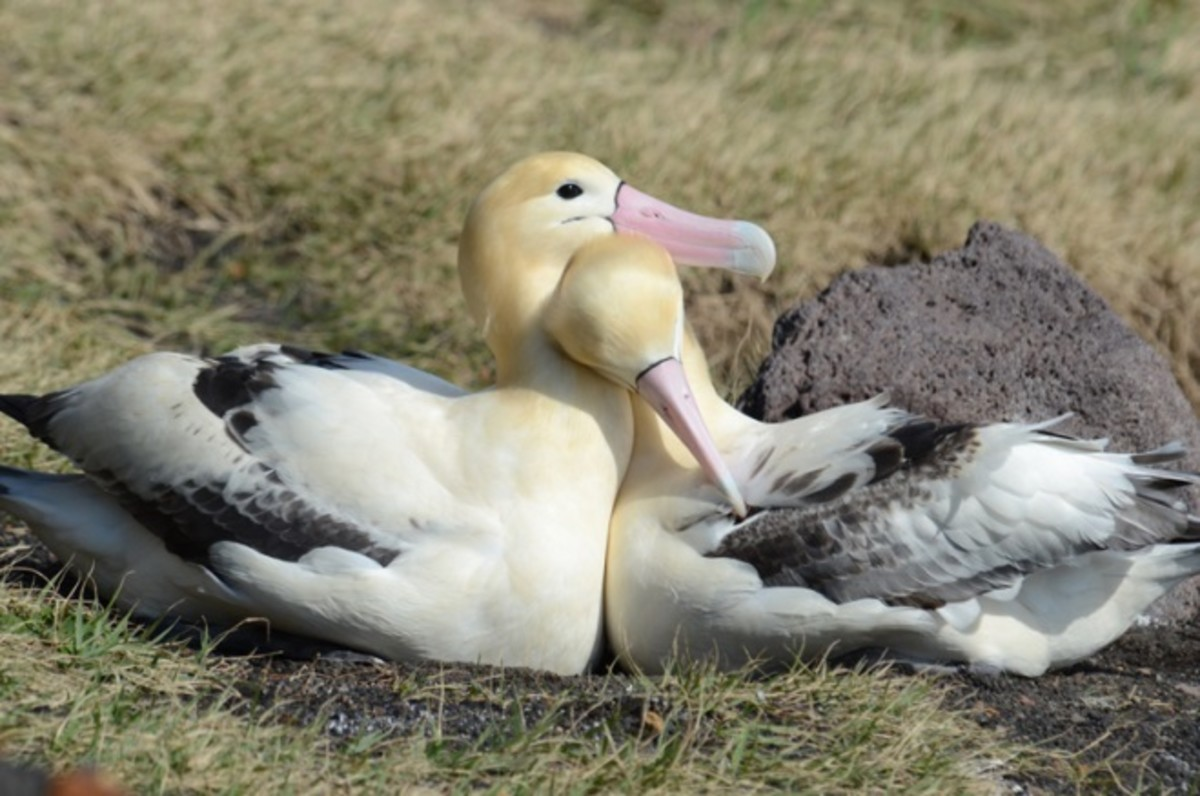 This is a pair of short-tailed albatross birds, found in Alaska.  Commercial hunting in the state has driven this bird almost to extinction.  Elsewhere - in Japan, this bird is considered a natural national monument.