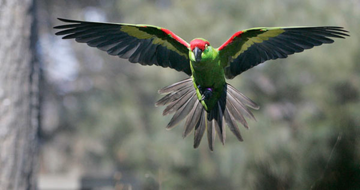 A thick-billed parrot in flight.  This stunning bird has been on the endangered list since 1970 and are found in Arizona and Mexico.