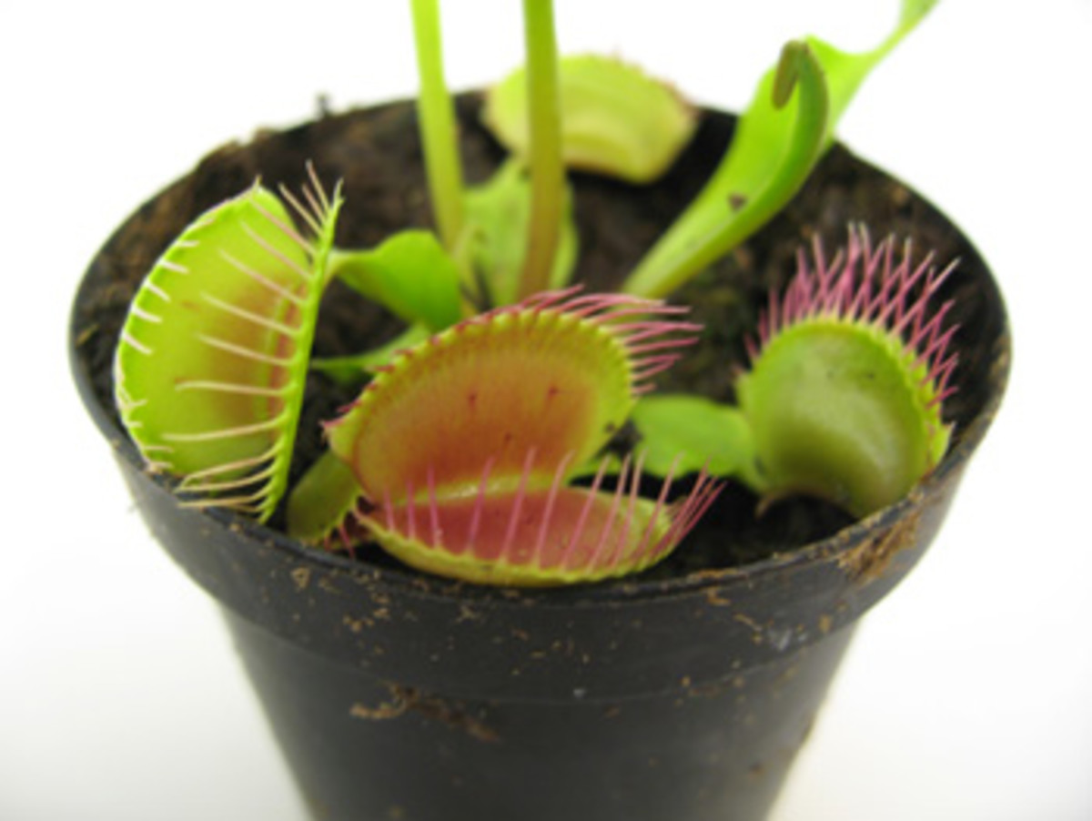 Carnivorous Plants - Venus Fly Trap, Pitcher Plant & Plant Care
