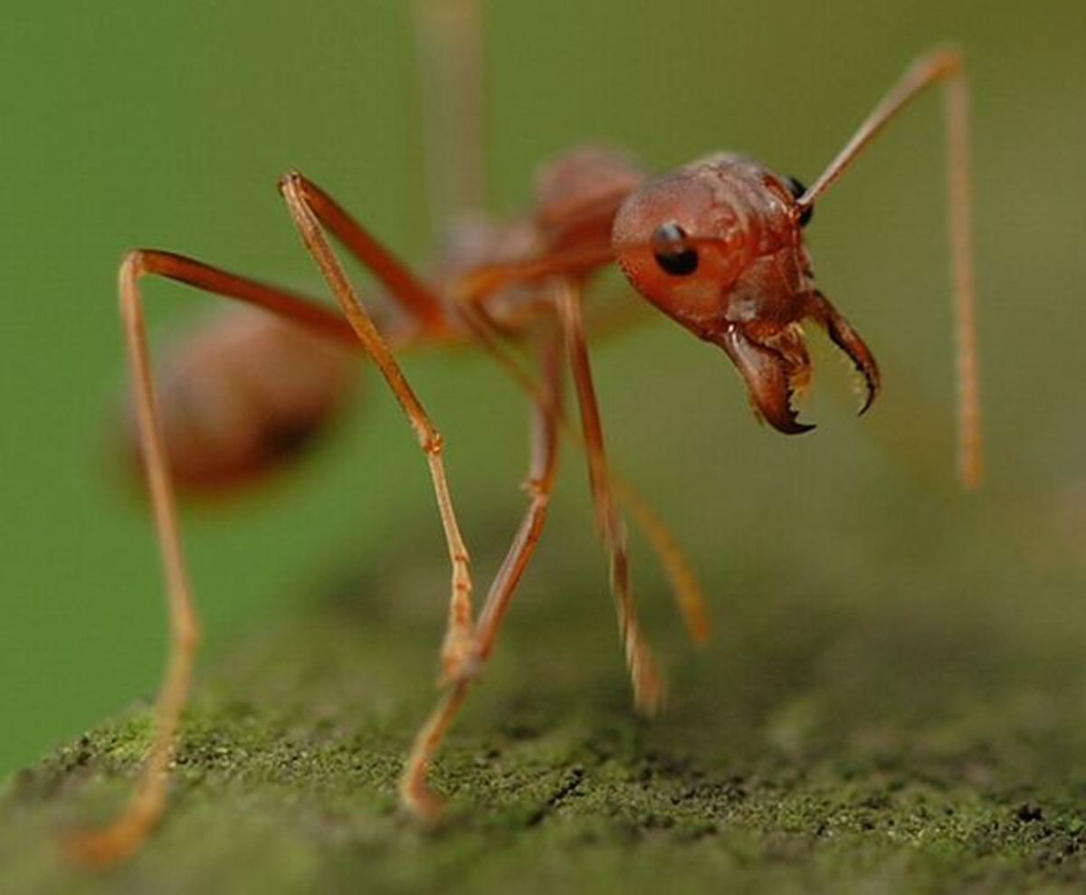Natural Ways to Control or Exterminate Ants