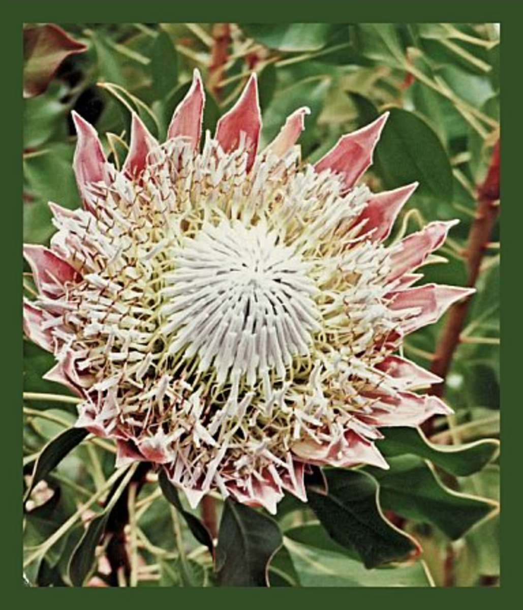 While stopping for lunch, visit the Protea Flower farm on Maui and take some excellent photos!