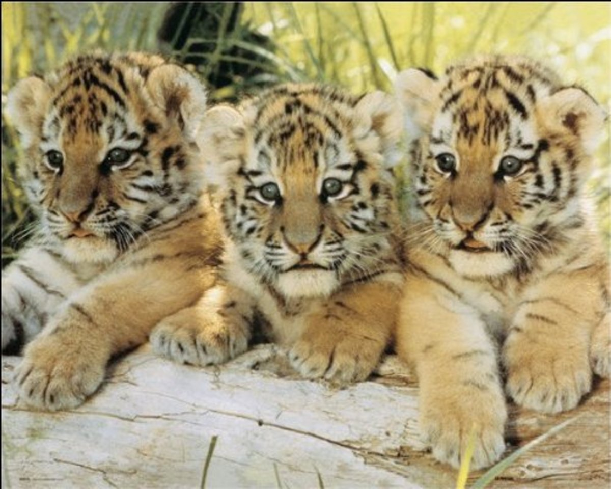 tiger cubs mini poster