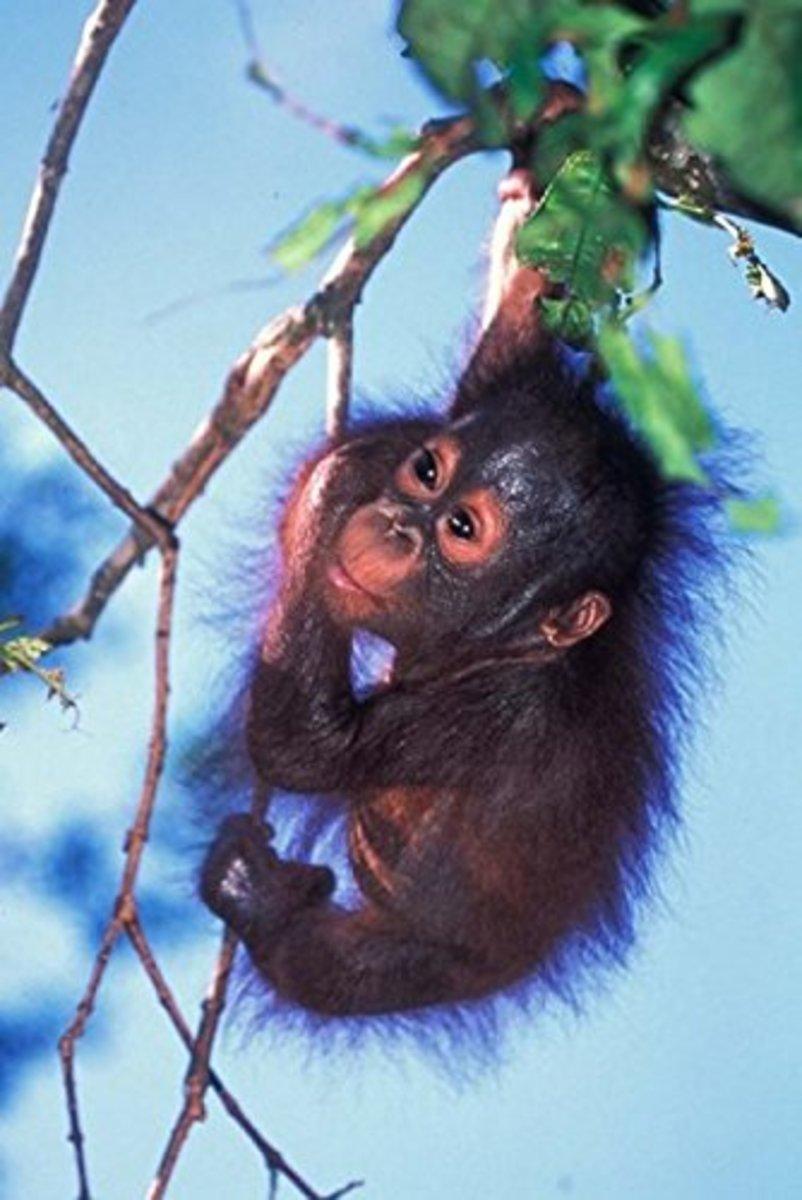 infant orangutan poster