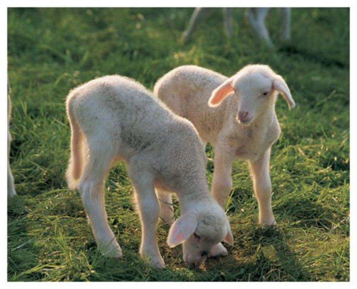 Sweet lambs poster