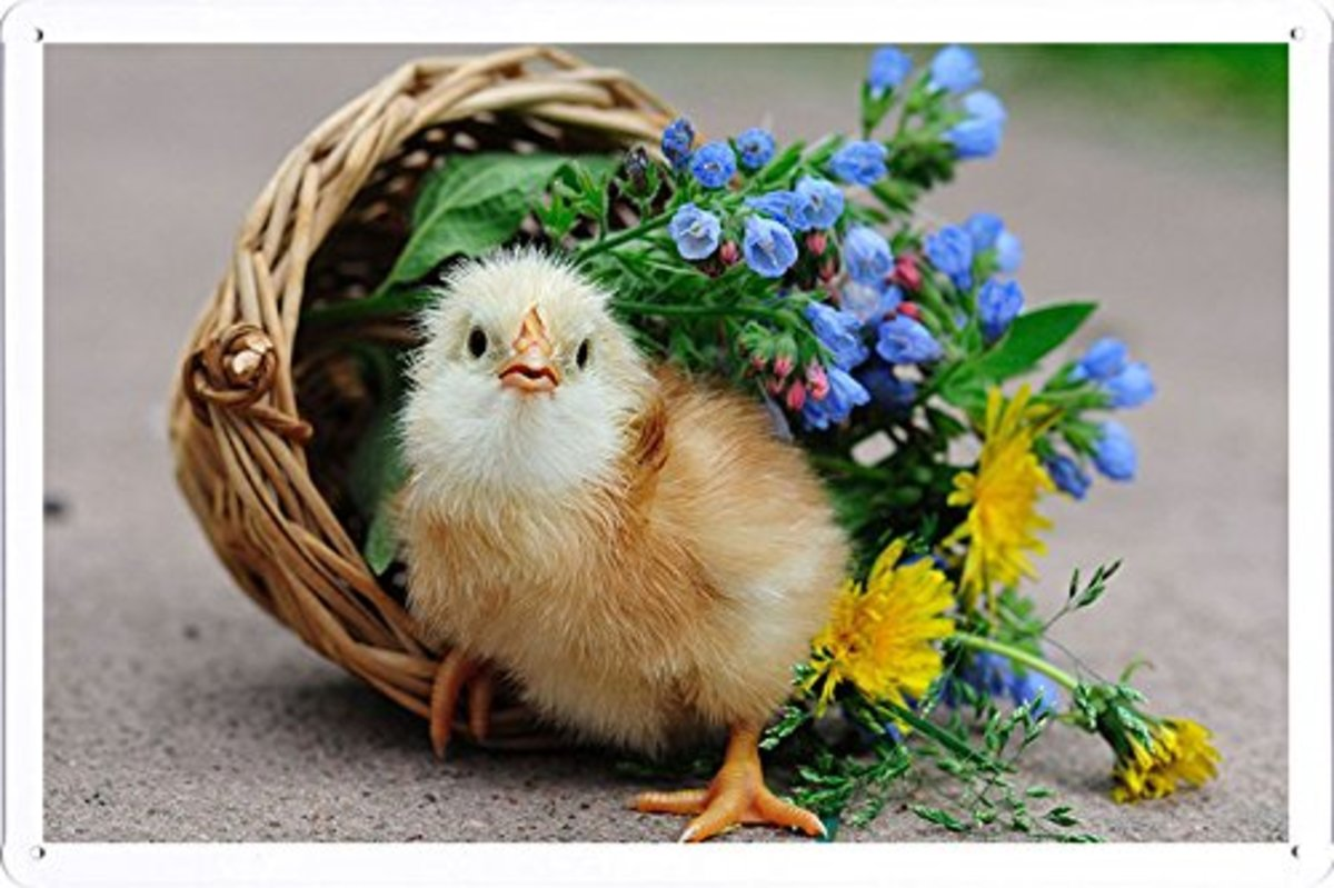 chicken with basket of flowers tin poster