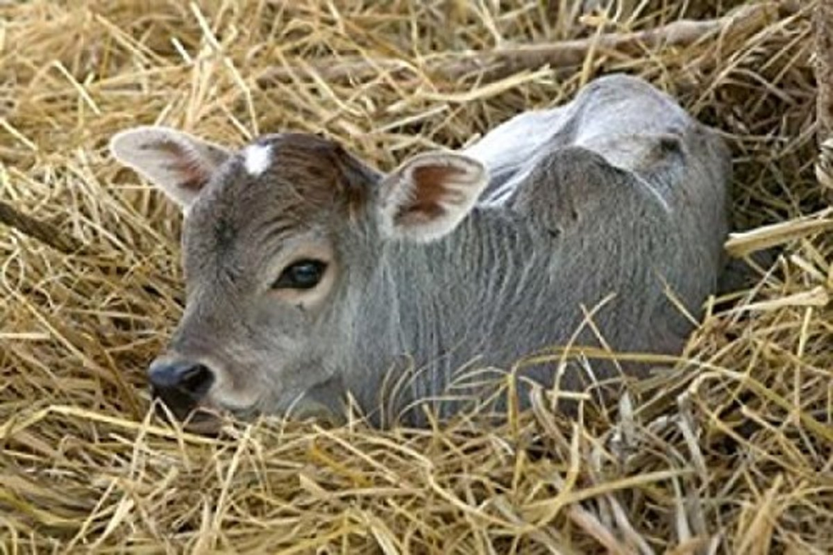 calf lying in the hay poster