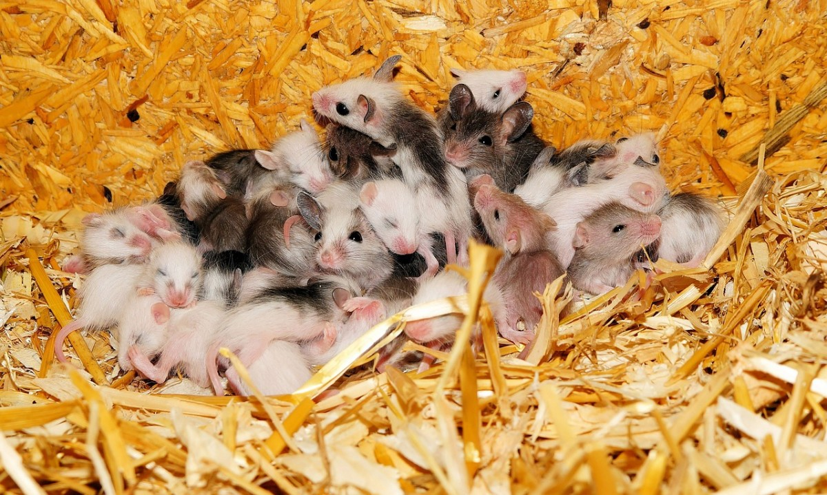 lots of baby mice