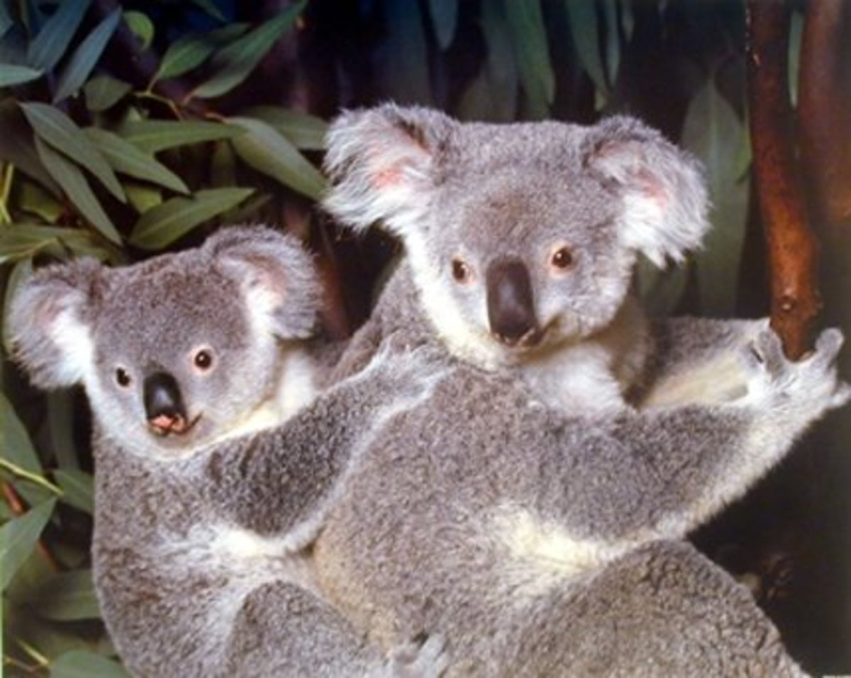 koala joey poster