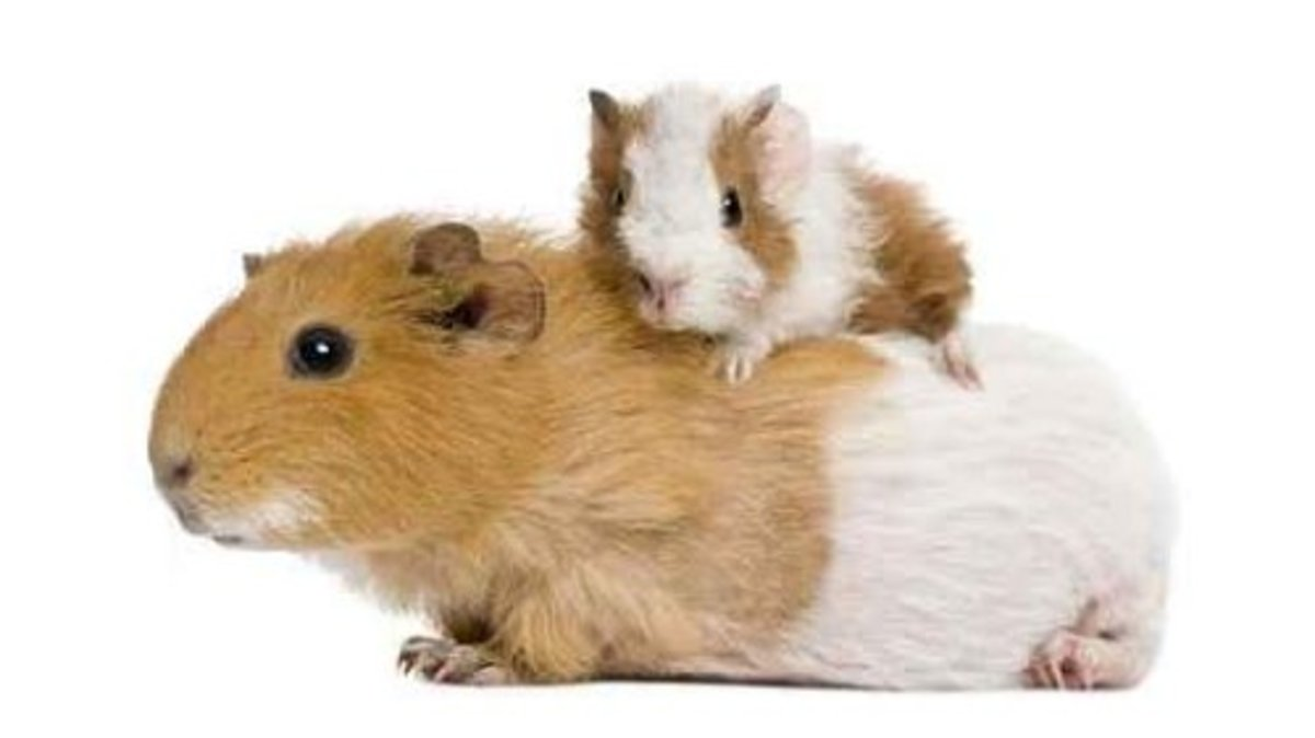 Guinea pig with her baby wall decal