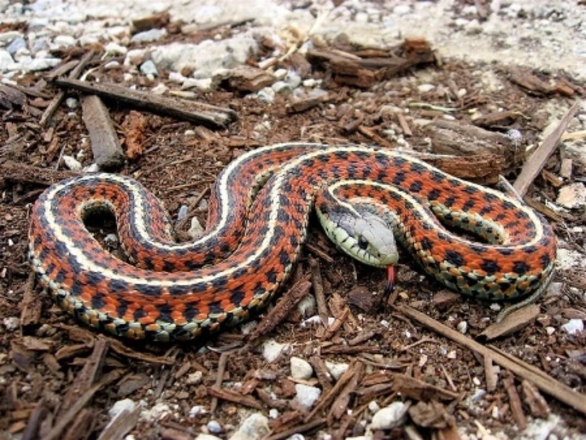 Coast Garter Snake