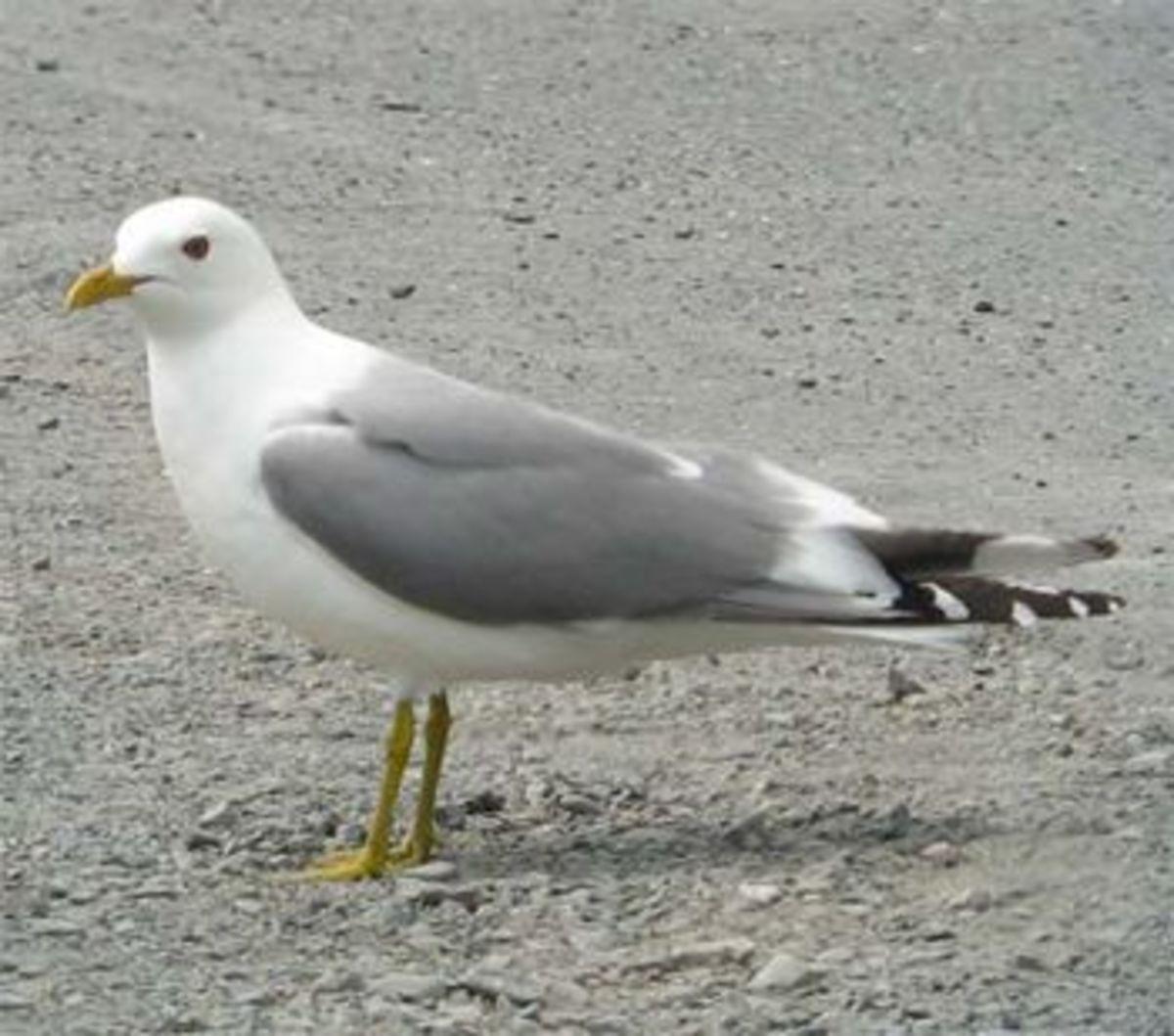 Common American Gull