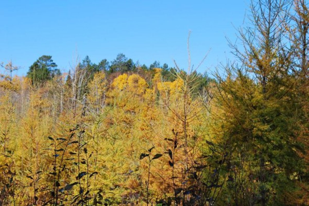 Visitors are often interested in seeing Tamarack, a hardwood that turns color and sheds leaves that mimic pine needles. In the fall, they add some great color, and in the spring when they green up again, the hue of green is distinct and quite beautif