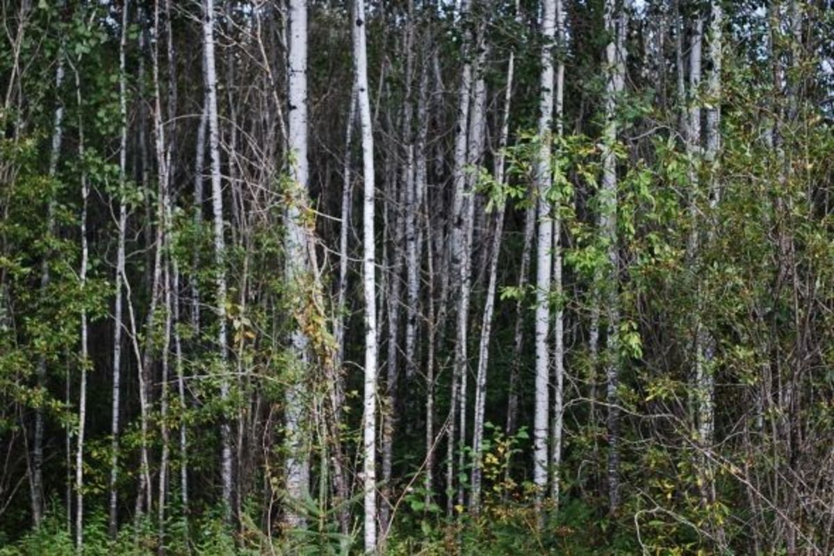 Aspen regrowth is a favored habitat for ruffed grouse.