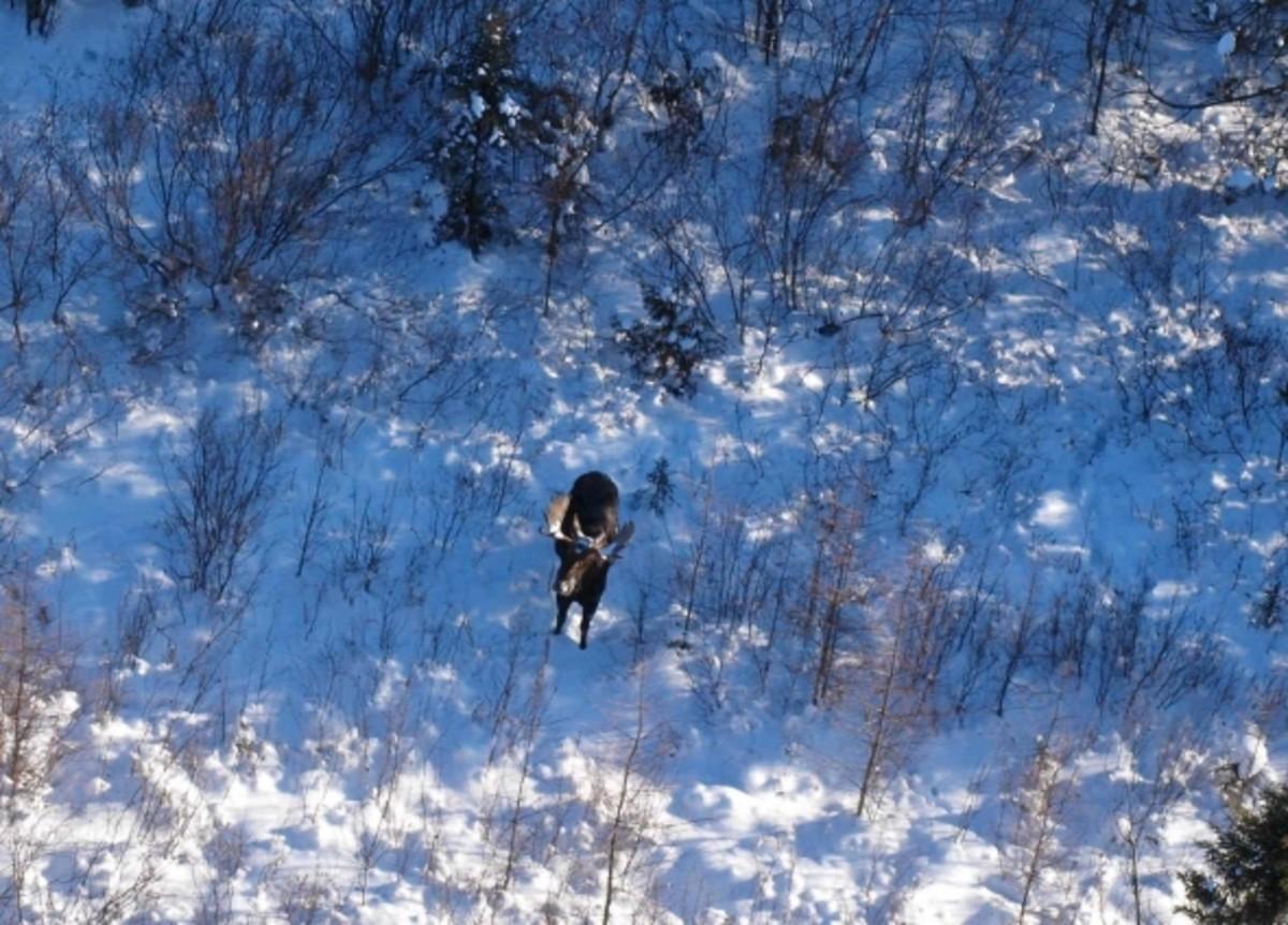 Moose in Voyageurs National Park. Photo courtesy VNP