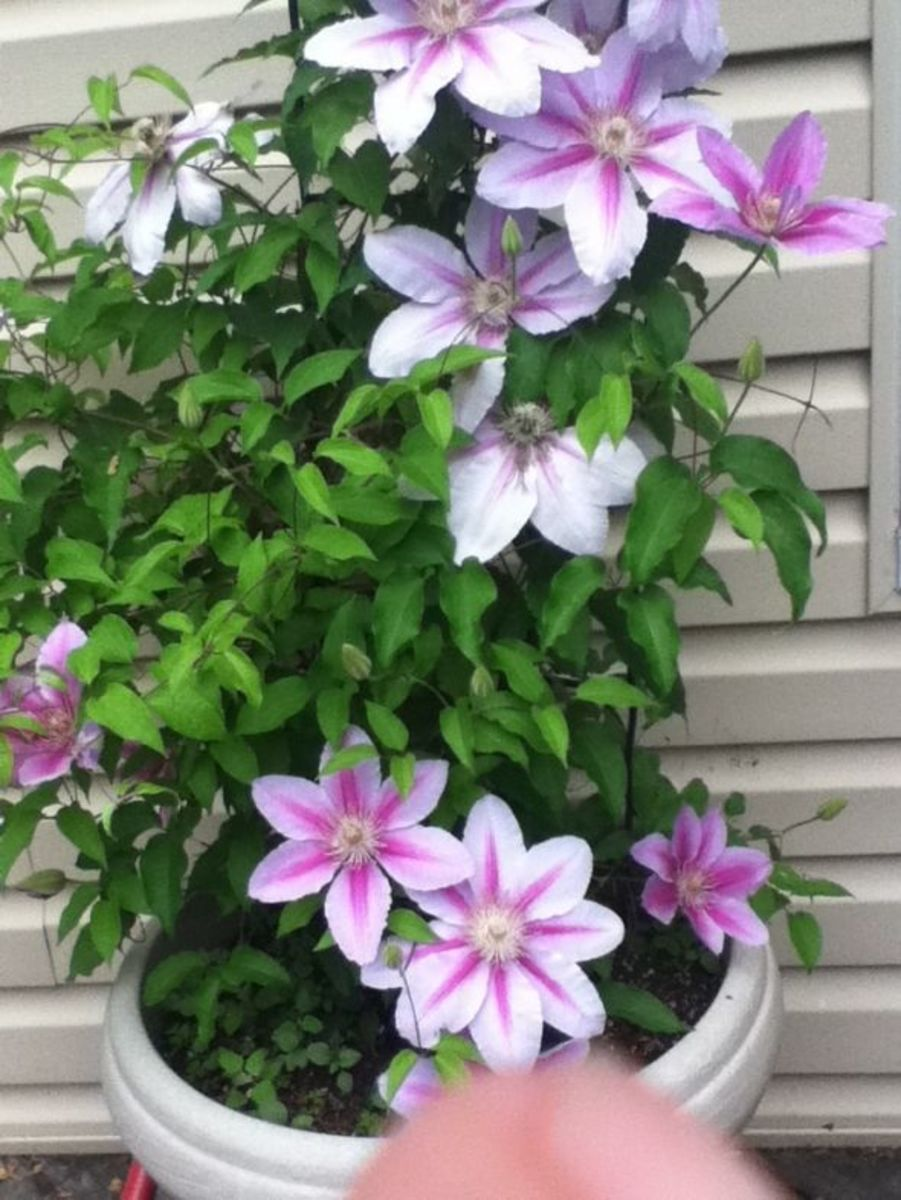I just thought my clematis was purdy....