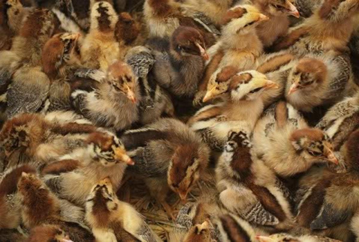 raising-baby-chicks-chickens