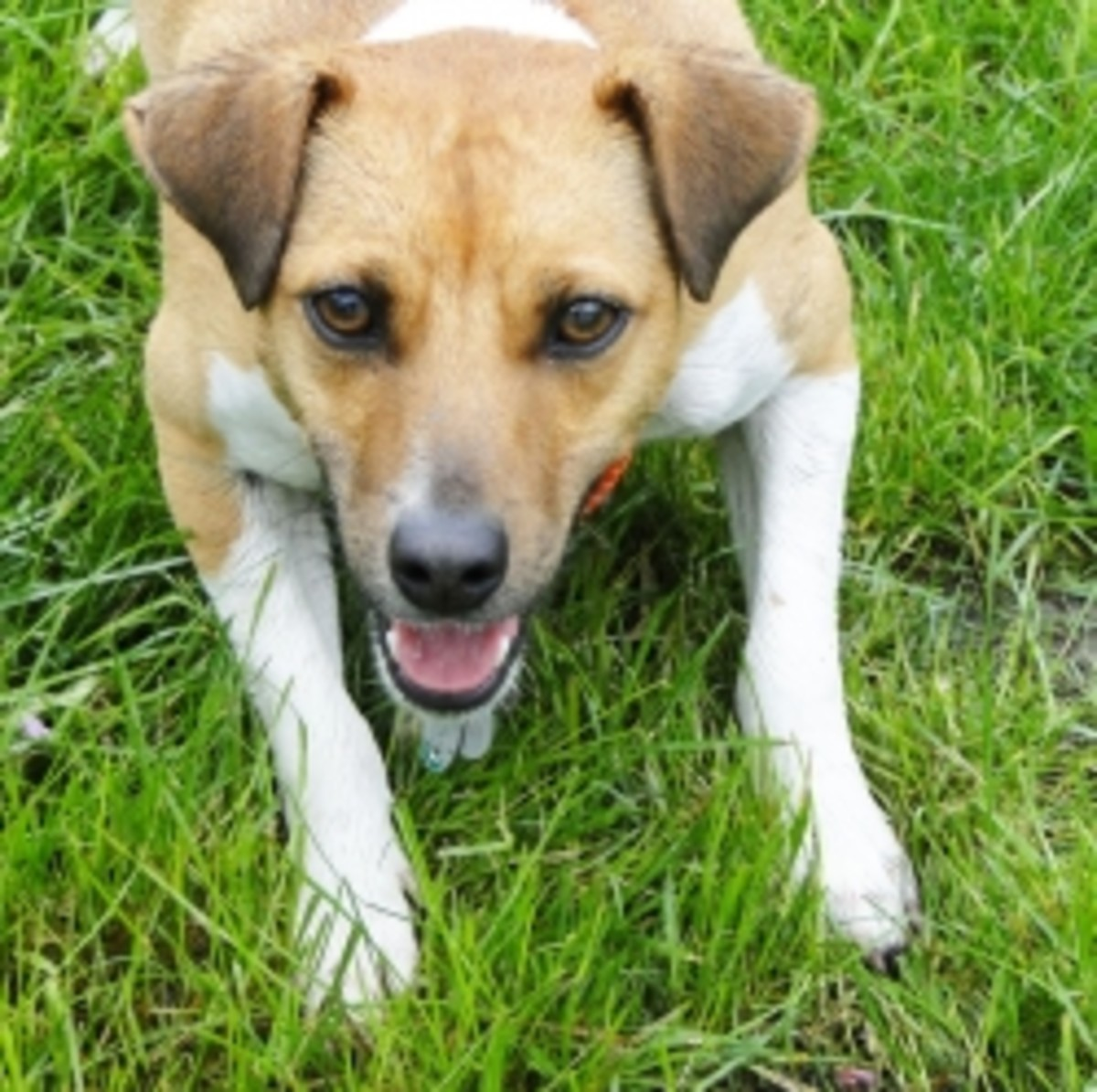 Terrific Terriers; Loving Life with your Jack Russell or Rat Terrier