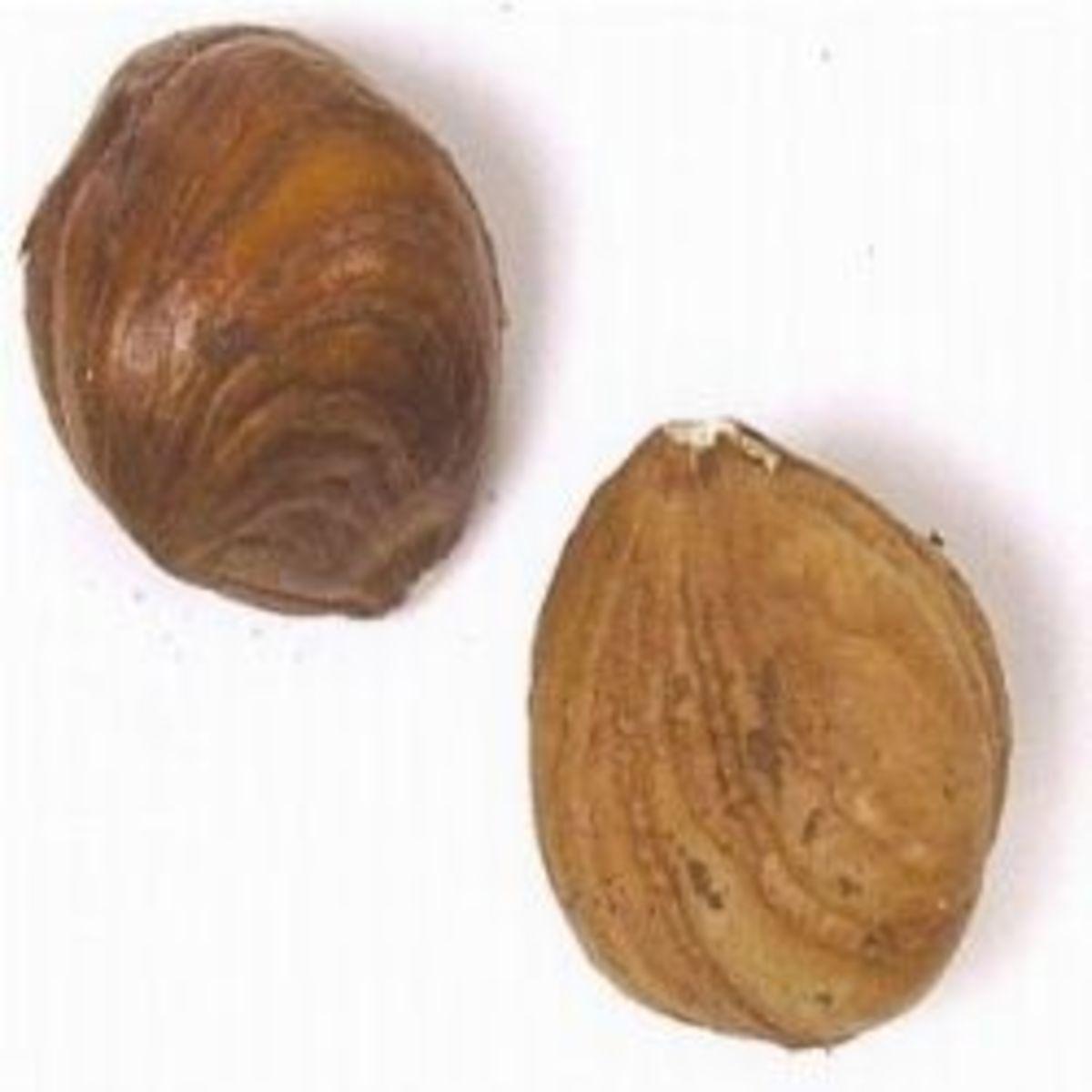 Hazelnuts or filberts