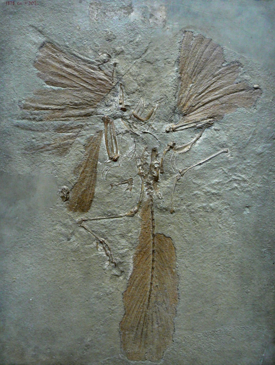 Archaeopteryx is not considered a bird, but is a transitional species. It resembled a dinosaur more than a modern bird, but had wings and feathers.