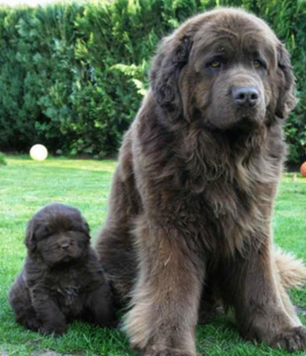 newfoundlands-a-large-and-beautiful-gentle-giant