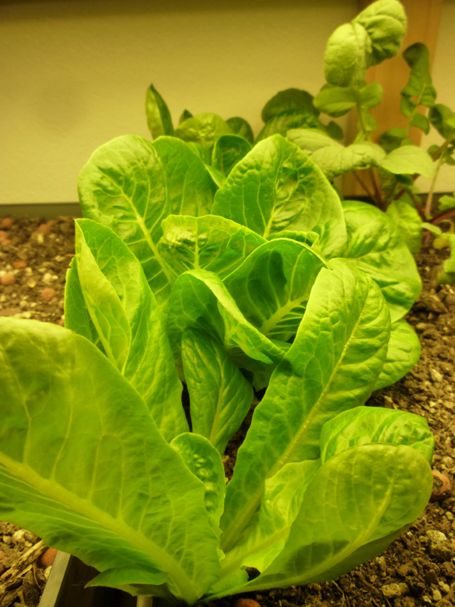 how to grow lettuce inside your home. Black Bedroom Furniture Sets. Home Design Ideas
