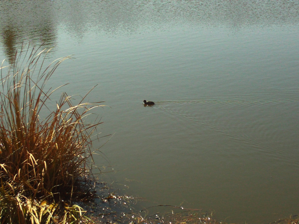 A solitary duck bobbing about on the lake.