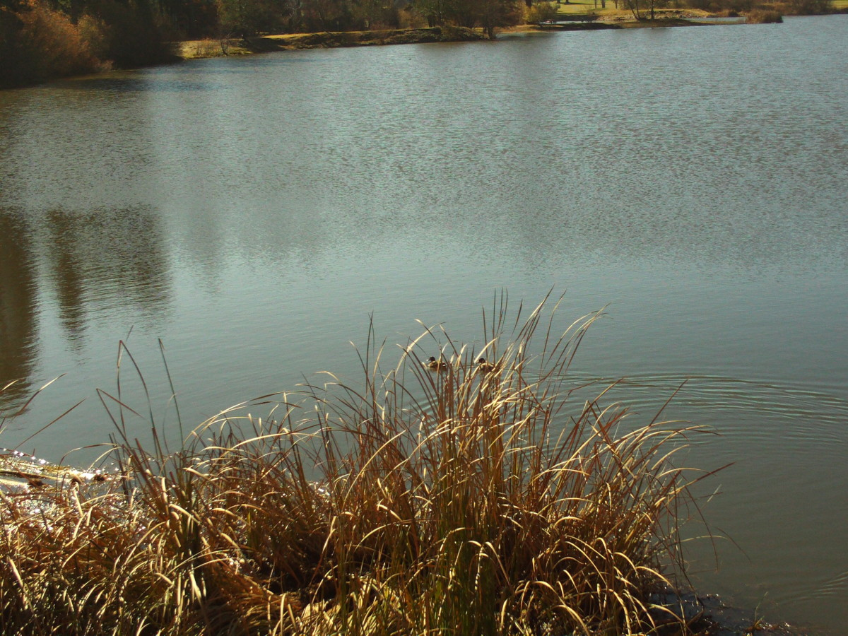 The reeds are the central focus of this photo on Grass Valley Lake.