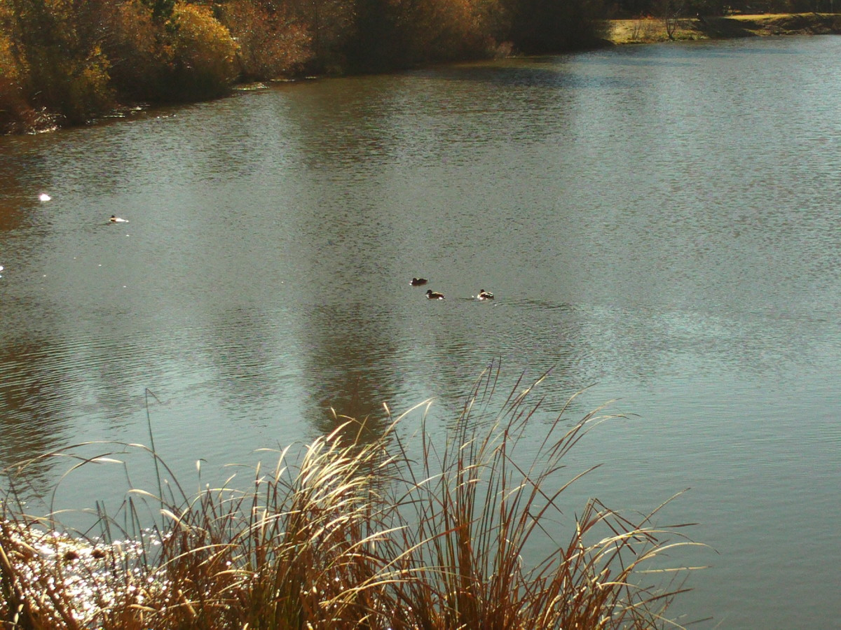 More ducks swimming on Grass Valley Lake.
