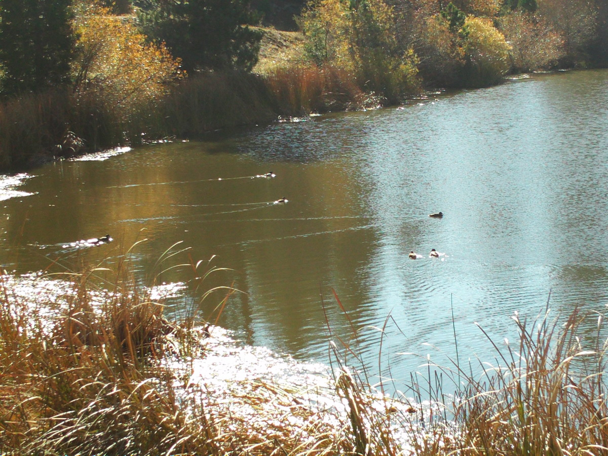 The ducks create streams behind them as they paddle across the lake.