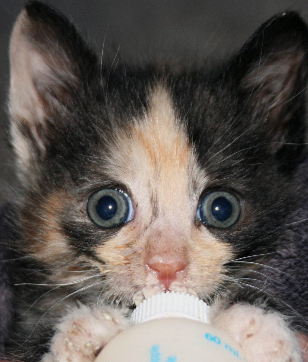 How to Care for Orphaned Kittens