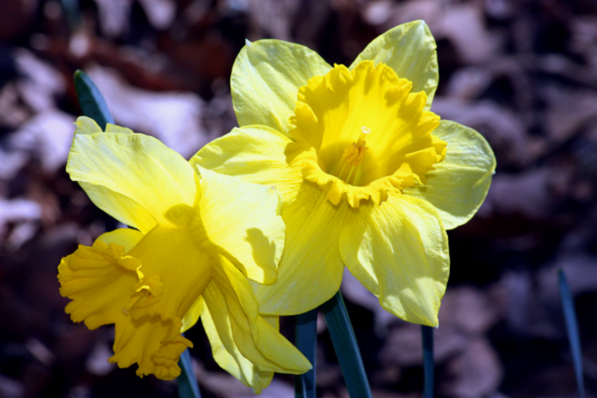 Bright Yellow Daffodils from my Flower Bed